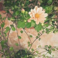 Eles estão voltando aqui em casa  #crisantemo #mini #florando #meupequenojardim