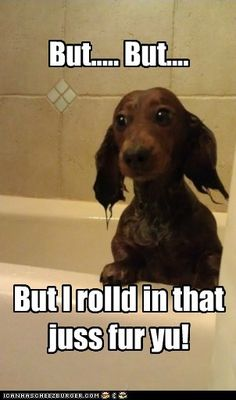 funny dachshund pictures with captions | ... dachshund - Page 11 - Loldogs n Cute Puppies - funny dog pictures