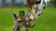 giraffepictures - Google Search