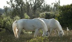 Horses - Camargue 2014 - #guidofrilli