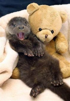 A surprised otter lying on its back next to a teddy bear.