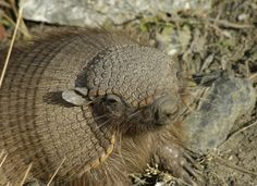 Armadillo | Species profile: Hairy Armadillo | Conservacion Patagonica