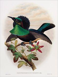 Richard Bowdler Sharpe_ Birds of paradise 18