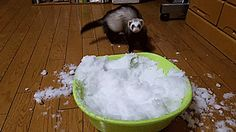 natsdorf — Ferret goes nuts playing in a bowl of snow. [full...