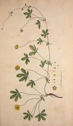 Flora Londinensis, or, Plates and descriptions of such plants as grow wild in the environs of London : Botanical Vintage Botanical Prints, Botanical Drawings, Motif Floral, Arte Floral, Botanical Flowers, Botanical Art, Floral Illustrations, Illustration Art, Illustration Botanique