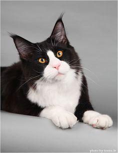 Maine Coon, black solid & white (n 09). Photo by #Tess.lv Tuxedo Cats, Maine Coon, Kittens, Animaux