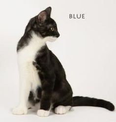 Blue is an 8 month old smoke tabby and white female. Spayed etc. Available through Napanee Community Kitten Rescue.