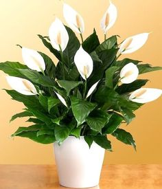 Peace Lily plants are a popular choice for offices and homes as it's considered some of the easiest plants to care for. Coleus 10 Plants That Don't Need Sunlight To Grow Easy House Plants, House Plants Decor, Plant Decor, Cool Plants, Potted Plants, Indoor Plants, Jar Plants, Succulent Plants, Growing Ginger Indoors