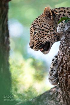 Young Leopard by Rudi_Hulshof #animals #animal #pet #pets #animales #animallovers #photooftheday #amazing #picoftheday