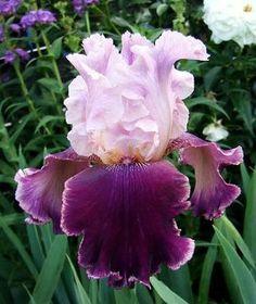 Latin Lover, Tall Bearded Iris