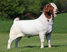 goat.jpg (700×550)
