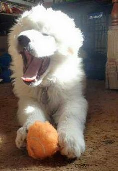 🐕 Great Pyrenees pup