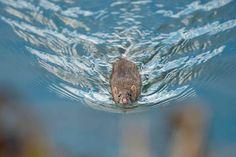 rat swimmer