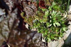 Nedocenené krásky. Ak si všade nastrkáte skalné ruže, neobanujete. Prečítajte si prečo! | Záhrada.sk Herbs, Plants