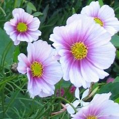 Cosmos (Cosmos Bipinnatus Sensation Day Dream) - No summer garden should be without Cosmos blooms nodding in the breeze! Easily established from Cosmos seeds, these annuals are large branching plants Amazing Flowers, Pink Flowers, Beautiful Flowers, Cosmos Flowers, Cosmos Plant, Belle Plante, Growing Seeds, Types Of Flowers, Flower Seeds