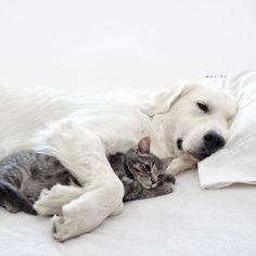 Two Golden Retriever Adopted a Cat And They Are The Most Lovable Trio Ever! Cute Baby Animals, Animals And Pets, Funny Animals, Cute Cats And Dogs, I Love Dogs, Cute Puppies, Dogs And Puppies, Doggies, Unlikely Friends