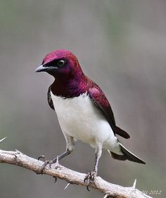 male amethyst starling        (photo by ruslou)