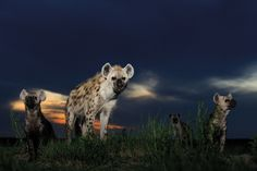 The hyena squad, by Lorenz Andreas Fischer (Switzerland)/Veolia Environnement Wildlife Photographer of the Year 2009   Emerging from their den at dusk, the youngsters sniffed the air, turning their heads from side to side as they picked up Lorenz's scent. It was the 'blue hour', when the sun had dropped below the horizon, draining the sky of reds, yellows and oranges and leaving it saturated with indigo. These hyenas, in the remote Liuwa Plain National Park in western Zambia,