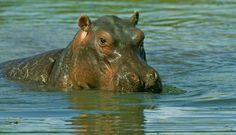 Relaxed Hippo by Ken Watkins on Hippopotamus, Zimbabwe, Wild Life, National Parks, Wildlife Nature