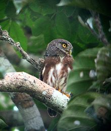 The Amazonian pygmy owl (Glaucidium hardyi) is an owl found in northern South America and northern Brazil, in the center of the Amazon Basin, and in Venezuela and the Guianas. In the southwest of the basin bordering the Andes cordillera, the species is found in Peru, and Bolivia. In the Guyanas, the range is bifurcated, as the species is not found in the middle country of Suriname.