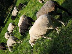 Sheep, Garden Sculpture, Outdoor Decor, House, Animals, Home Decor, Animales, Homemade Home Decor, Home
