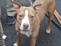 BE DESTROYED SATURDAY, 3/15/14  Manhattan Center    My name is BRUNO. My Animal ID # is A0992930.  I am a male brown and white pit bull mix. The shelter thinks I am about 2 YEARS    I came in the shelter as a STRAY on 03/02/2014
