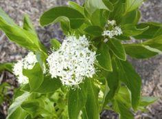 The bloom on a yellow twig dogwood. (www.farmcarolina.com)