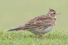 Los aláudidos (Alaudidae) son una familia de aves del orden de los paseriformes. Incluye las alondras, las terreras, las calandrias y las cogujadas.