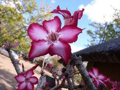 Impala Lilies by David W. Siu, via Flickr