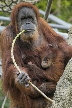 Sumatran orangutan Indah showed her 3-month-old daughter the ropes this morning at the San Diego Zoo.