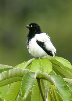 The Magpie Tanager (Cissopis leveriana) is a South American species of tanager. It is the only member of the monotypic genus Cissopis.
