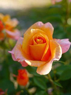 Apricot Hybrid Tea Rose