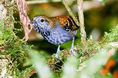 Foto choquinha-de-garganta-pintada (Rhopias gularis) por Publio Rodrigues | Wiki Aves - A Enciclopédia das Aves do Brasil