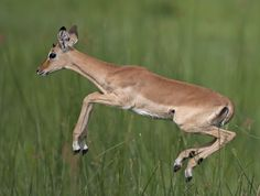 Great picture of jumping Gazelle @ #Katavi National Park in #Tanzania