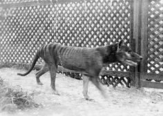 By the 1830s hunters were already being offered financial incentives by a pastoral business called the Van Diemen's Land Company, for every Thylacine killed on its land. The last Tasmanian tiger in captivity died at the Hobart Zoo in 1936. The species was declared officially extinct in 1986.