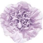 Moonaqual Carnation