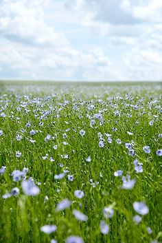 On a windy day, while passing by on the highway, flax fields look like water!