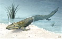 Art illustration -  Aquatic animals - Tiktaalik: is a fish sarcopterygian (lobed fins) Late Devonian period, with many features of tetrapods, which is considered an important transitional fossil. It lived about 375 million years ago. Paleontologists suggest that Tiktaalik was an intermediate form between fish as Panderichthys, which lived 385 million years ago, and the latest as Acanthostega and Ichthyostega tetrapods that lived about 20 million years later.