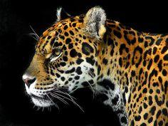 Panthera onca.