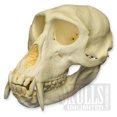 Patas Monkey Skull (Erythrocebus patas) | WTQ-243