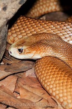 Coastal Taipan (Not Classify, Probably In Thousands)