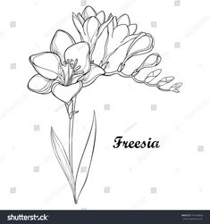 Vector bunch with outline Freesia flower, bud and ornate leaf in black isolated on white background. Perennial fragrant plant Freesia in contour style for summer design and coloring book. Fresia Flower, Plant Background, Tattoo Outline, Plant Illustration, Cool Plants, Flower Tattoos, Watercolor Flowers, Perennials, Drawings