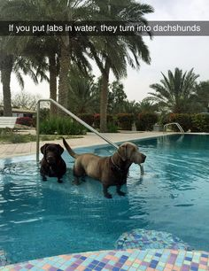 Labradors legs shrink with a straw in water like effect, so the long legs shorten visually so the Labrador then looks like a short legged dachshund ‼️