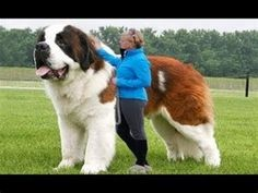 It's not surprising that the fastest dog breeds happen to be the big ones Sight hounds are popular dogs used in races, but what other breeds make the cut? Giant Animals, Big Animals, Happy Animals, Cute Baby Animals, Funny Animals, Giant Dog Breeds, Giant Dogs, Large Dog Breeds, Massive Dogs