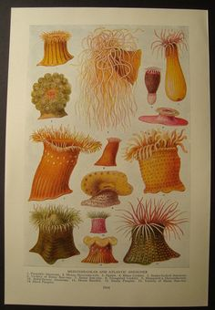 Living Flowers of the Sea Anemones Vintage Original Double Sided Print