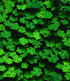 I remember, as a kid, lying in beds of clover and looking for the 4 leafed ones...