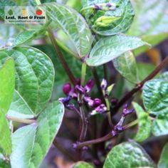 Giant Edible Trellis Project: Week Thirteen - Leaf, Root & Fruit Gardening Services Hawthorn