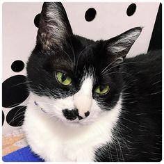 GW明けの今日は、ようか。8日。 末広がりの八… そう、 #はちわれデー @rongoma さんいつもありがとうございます。 ミトの箱をたたむとあけて。って。 世界の車窓から… ミトのケージの上から #ハチワレ猫マック  今月も参加☀️ . マックより 風邪には気をつけや。 . #mycat #cat #instacat #catstagram #ねこ #はちわれねこ #猫 #愛猫 #ねこすたぐらむ #ネコスタグラム #にゃんすたぐらむ #はちわれねこ #はち輪