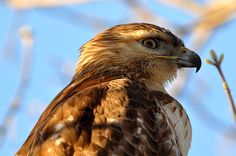 A sharp hook helps a hawk eat its dinner. - The Basics of Bird Beaks No matter the challenge, birds have the perfect tools for the job, right in front of their noses.