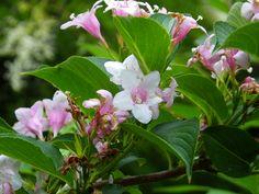 Gołuchów Park - Ogród kwiatowo - ziołowy.Berberys Wilsona